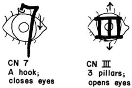 Function of cranial nerve 7 as a hook pulling down eyelid.  Function of cranial nerve III as 3 pillars holding eyelids open